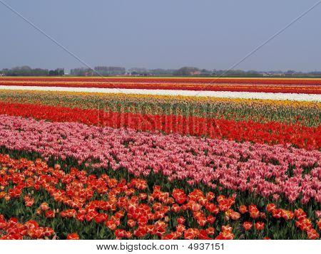 Overview Tulip Fields
