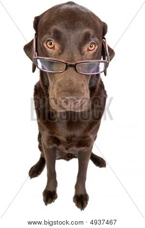 Clever Labrador With Glasses