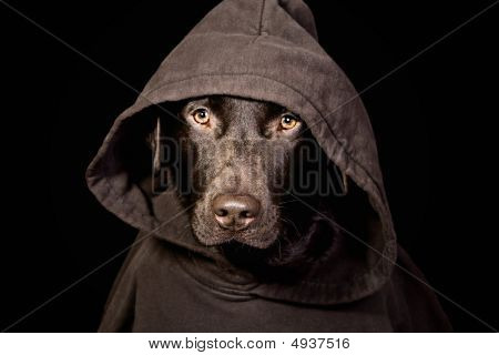 Intimidating Labrador In Hooded Top