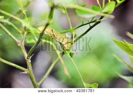 Caterpillars eat leaves