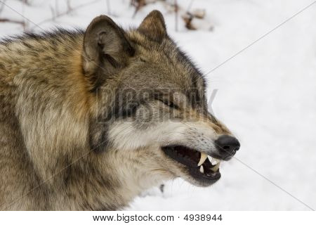 Timber Wolf Growling Iii