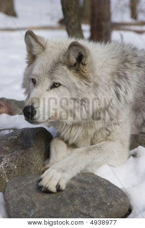 Timber Wolf Ii