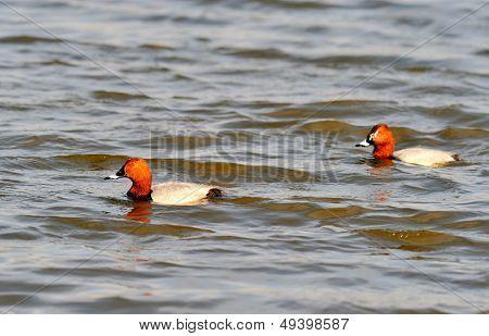 ducks on the river (aythya ferina)