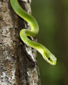 image of tree snake  - Close up of a rough green snake in a tree - JPG