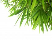 stock photo of transverse  - Bamboo leaves on a white background - JPG