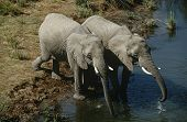 Namibia two African Bush Elephants drinking water from river elevated view