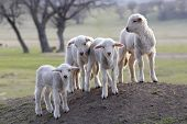 image of mustering  - cute little lambs - JPG
