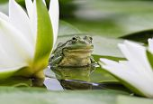 foto of day-lilies  - Frog sits on a green leaf among white lilies in a pond - JPG