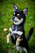 picture of chiwawa  - Closeup of Chihuahua standing on two legs in front of green background - JPG