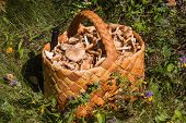 Birchbark Basket Full Of Mushrooms