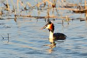 stock photo of great crested grebe  - water bird on the water  - JPG