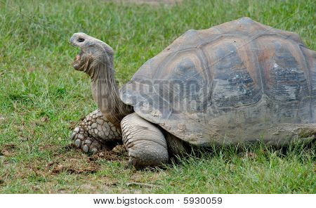 Giant Galapagos Turtle