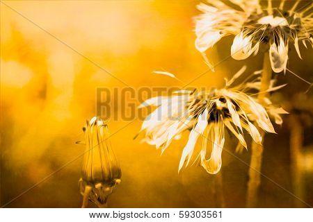 Golden Dandelions