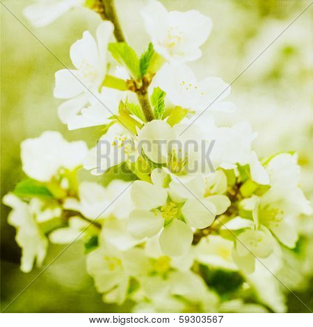 Artistic Spring Apple Blossoms