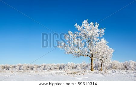 Lonely Snow-covered Trees