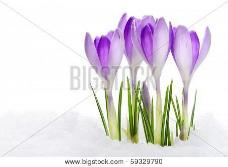 Group of purple crocuses