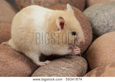 Portrait of young hamster on rocks.