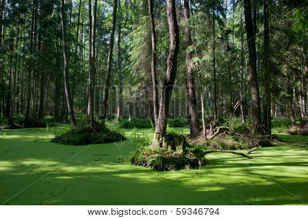 Natural Stand Of Bialowieza Forest With Standing Water And Common Duckweed
