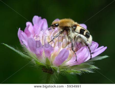 The bug Trichius fasciatus on the flower Knautia arvensis