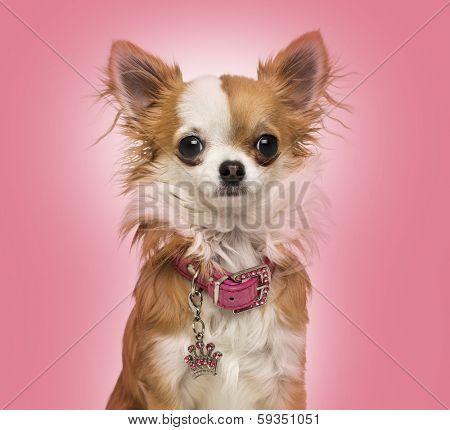 Chihuahua wearing a shiny collar, sitting, 7 months old, on a pink background
