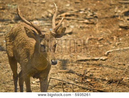 Hirsch buck