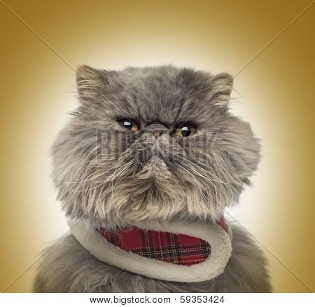 Front view of a grumpy Persian cat wearing a tartan harness, sitting, on a golden background