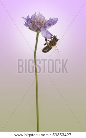 Side view of a European honey bee, Apis mellifera foraging pollen on a flower, on a purple background