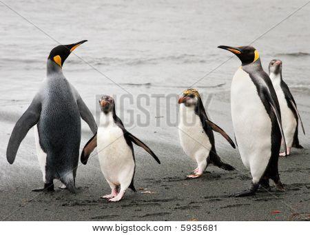Royal and King penguins