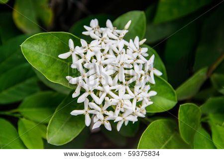White Ixoras Flower