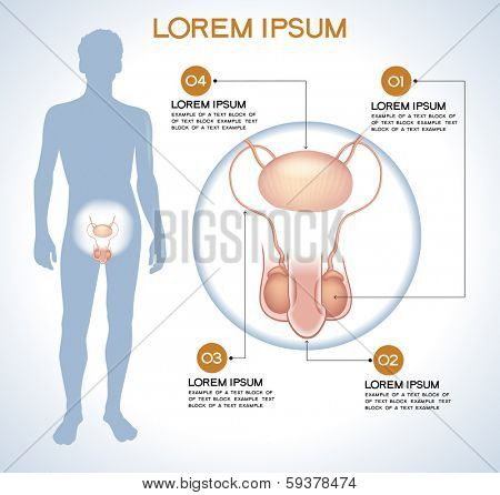 Penis, testes. Modern medical infographics. Internal organs in a human body. Anatomy of people