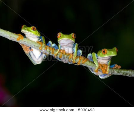 three red eyed green tree frogs on tree branch, costa rica
