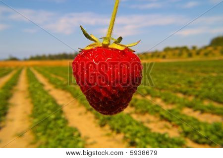 Ripe and Juicy Strawberry