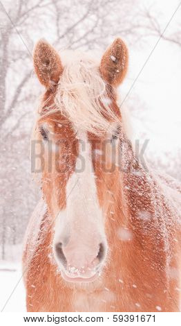 Snow blowing on a Belgian draft horse