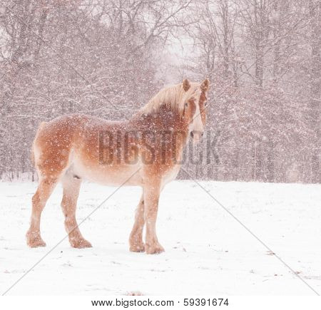Belgian draft horse in a blizzard, looking at the viewer