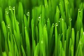 Fresh green wheat grass with Drops dew / eco macro background