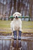 stock photo of hunters  - golden retriever dog in rain boots and with an umbrella - JPG