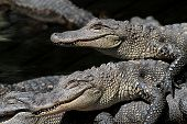 stock photo of alligator baby  - Baby American Alligators  - JPG