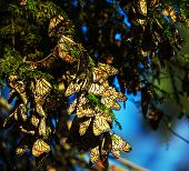 foto of monarch  - Monarch Butterfly colony in Mexico - JPG