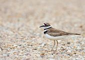stock photo of killdeer  - A Killdeer bird spotted in the Cypress Hills of Southern Alberta Canada - JPG