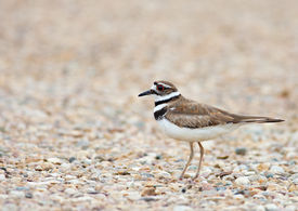 image of killdeer  - A Killdeer bird spotted in the Cypress Hills of Southern Alberta Canada - JPG