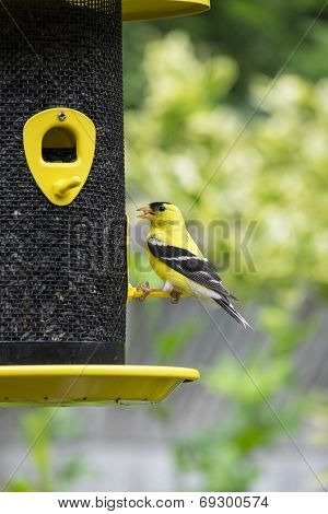 Male Gold Finch at a Bird Feeder