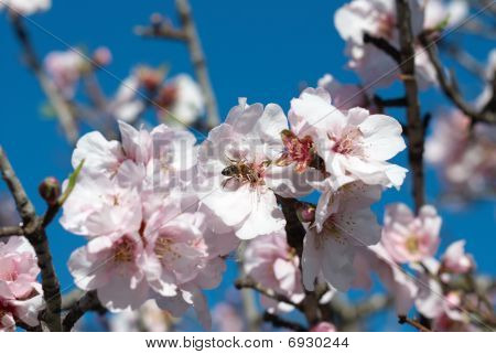 Bee on almond tree flower