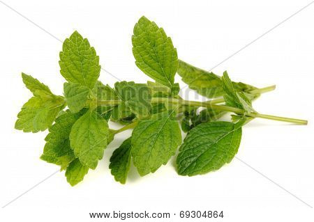 Lemon Balm (Melissa Officinalis) Isolated On White Background