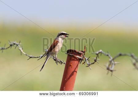 Lanius Collurio On Barbed Wire