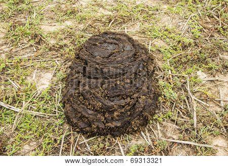 Buffalo Dung