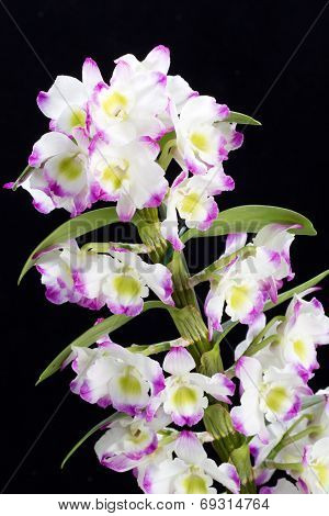 Dendrobium Orchid hybrids flower . Isolated on black