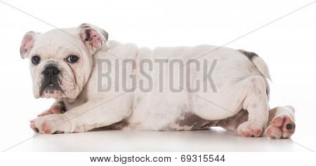english bulldog puppy laying down on white background