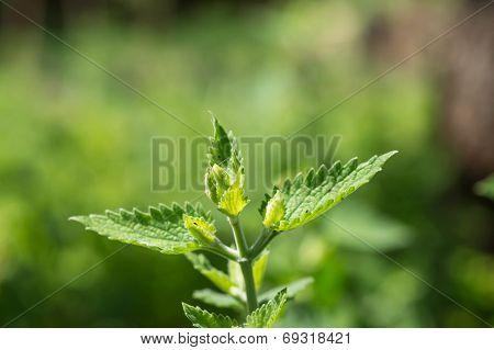 Nettle Branch In A Summer Garden Close Up