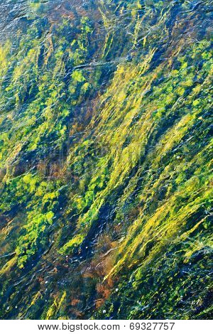algae in river