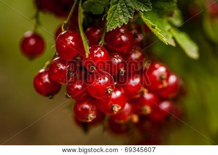 Bunch of redcurrant